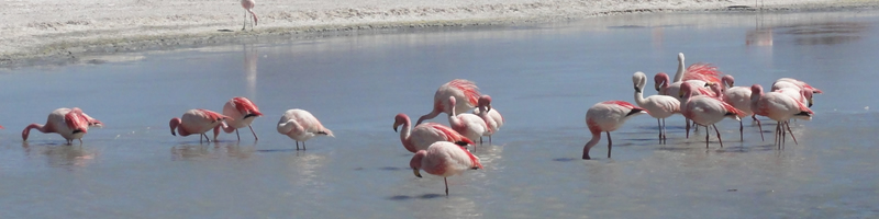 Flamands roses en Bolivie.jpg